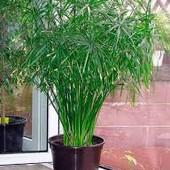 Пальма болотная (циперус зонтичный)! Четыре растения в одном стаканчике (Фото 2) -уже 14 побегов!!!