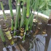 Зимовостійкий хвощ - бамбук!!!