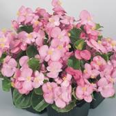"""Бегонмя вечноцветущая """"Боушин""""! Укоренённое растение (фото 2) уже растет! Фото 3-4 цвет маточника."""