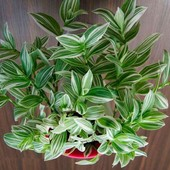 Традесканция белоцветковая! Продаваемое растение (фото 2) - уже растет и есть новый побег!!!