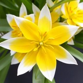 Собирайте лоты!! Дикий тюльпан Дасистемон Тарда батанический.