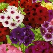 Флокс крупноцветковый, смесь всех цветов радуги! Семена до 2024 г !!!