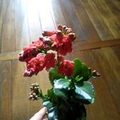 Каланхое цветущее(Каландива) махровые цветы