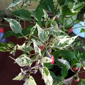 Перчик с вариегатными листками красный