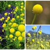 Цефалофора – трава с ароматом земляники и ананаса, ароматизатор для чая, выпечки, наливок