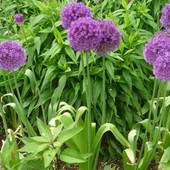 Луковицы Аллиум Purple Sensation( 5 шт)