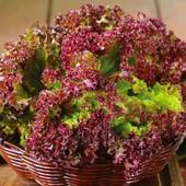 Семена салата Лолло Росса розовый. Ранний сорт без горечи!!!