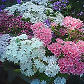 Флокс Друммонда. Крупноцветковый!!! Цветет с июня до заморозков!! На улице, в доме, на балконе!!!