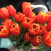 тюльпан Verandy (Веранди)-яркие красные тюльпаны с жёлтой каймой!!в лоте 2 луковицы!!!!