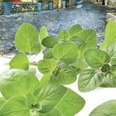 Прованские травы. Классический итальянский орегано. 1500 семян!!!