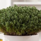 Тимьян обыкновенный - зеленая аптека! Семена до 2024 г!!!