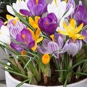 Голанские крокусы великаны микс цветов.Парад весенних цветов.В лоте 5 луковиц разных цветов.