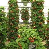 Семена ампельной клубники -Гора Эверест -в лоте 20 семян.