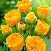 Собирайте лоты!!Махровый многоцветковый Double Beauty of Apeldoor.В лоте 1 большая луковица.