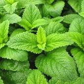 Семена Мелиссы лимонной. Чай и компот с неповторимым вкусом. Лучшее фитосредство для сердца .