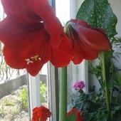 Гиппеаструм темно-красный.В лоте одно растение - фото 2!! Диаметр луковицы 2,5 см!