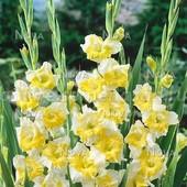 Крупноцветковый гладиолус Багги, огромный колос.