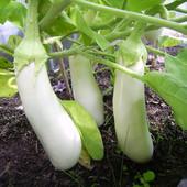 """Баклажан """" Вкус грибов"""". Белый баклажан со вкусом и ароматом грибов!!! Скоро сеять на рассаду!"""