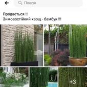 Бамбук - хвощ, зимує на дворі