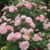 Роза флорибунда Мария Терезия -1 саженец