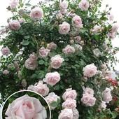 Роза плетистая Нью Доун -1 саженец