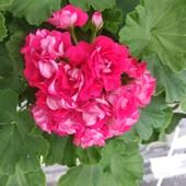 пеларгонии Rosebud supreme