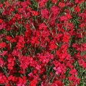 Травянка скарлет - вечнозеленый многолетник, цветет все лето