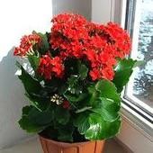 """Молодое суккулентное растение каланхоэ """"Броссфельда"""".Продаваемое растение( ф- 2) выбросило цвет!"""
