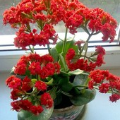 """Суккулент каланхоэ""""Блоссфельда"""" махровое. Лот( фото 2) - крепкорастущее растение."""