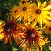 Рудбекия - огромная ромашка, фото свои, диаметр цветков - 15 см