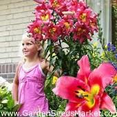 Собирайте лоты!!Лилия -дерево класса от.гибрид -Сатисфэкшн .Сильноароматная красавица.