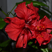 Цветок китайская роза (Гибискус)