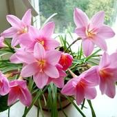 Зефирантес розовый, 3 луковицы - можно в квартире и на улице