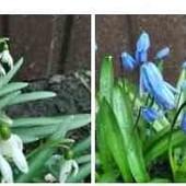 Подснежник белый или синий, птицемлечник, ландыш.