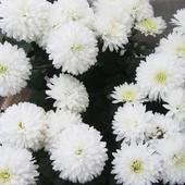 Хризантемы корейские -по деленке каждого сорта