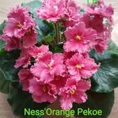 Фіалка Ness'Orange Pecoe
