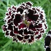 Гвоздика Геддевига черная с белой каймой, или красно-белая, свои семена