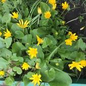 Ранние весенние цветы! Украшение сада!