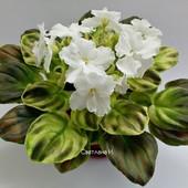 Нереально красивий сорт OS-Джунгарик - вкорінений листочок