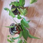 Сциндапсис одна рослина