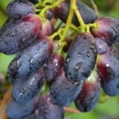 Виноград Велика -1 саженец