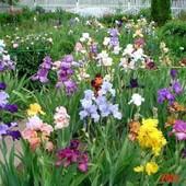 Ирисы( в лоте три куста разного сорта)Много цветов многолетников