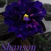 Shanson - вкорінений листочок (фото цвітіння мої)
