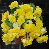 Бегония Шансон жёлтая F1 во время цветения напоминает сказочное растение.В лоте семена 1 пачка.