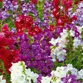 Панстемон смесь цветов 50+ семян