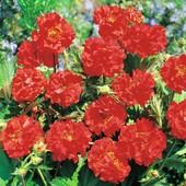 Гравилат чилийский махровый, зимующий многолетник, цветет два месяца