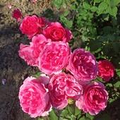 Роза плетюча сорт Парад - лот 1 шт. саджанець