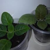 Сеянцы глоксинии перекрестного опыления разных махровых сортов. Лот 2 шт.