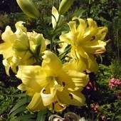 Лилия дерево экзотическое солнце-лилия от гибрид Exotic Sun махровая ароматная высокая и без пыльцы
