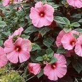 Гибискус Mouschetous Pink